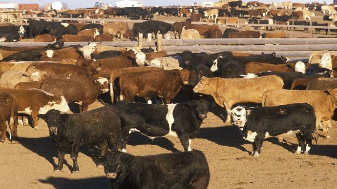 fiches_Ph-_feedlots_2_-_cascoly2_fotolia