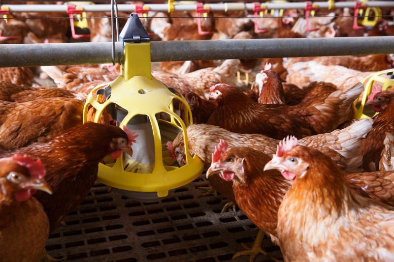 lelevage-des-poules-et-lapins-en-cage-reste-autorise-pour-le-moment