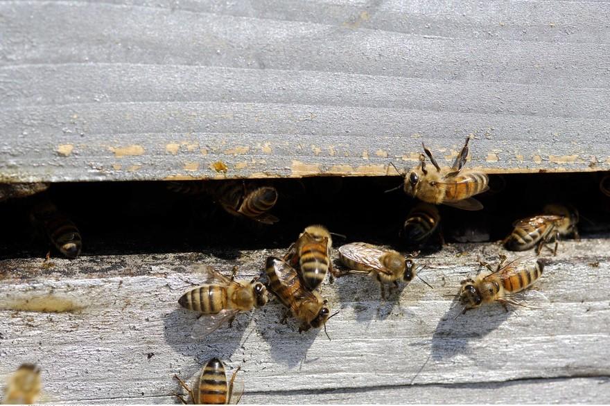 7794599521_des-abeilles-a-l-entree-d-une-ruche-illustration